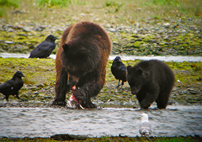 Bear eating salmon in Southeast Alaska